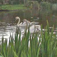 Swans on the Tiverton Canal